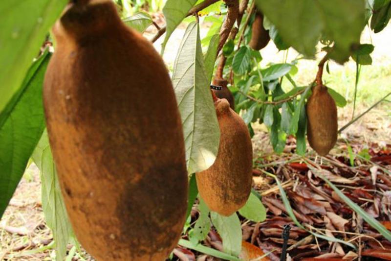 O curso é realizado pela Embrapa em parceria com o IdeflorBio, por meio dos projetos Melhor Fruta e GRANDIFLOR.