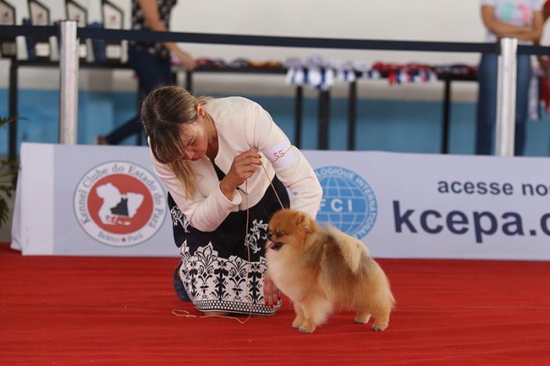 """O cão """"Kame"""", de São Paulo, foi eleito o melhor animal da raça Spitz Alemão Branco."""