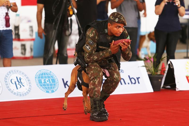 Ágeis e versáteis, os  cães da raça Belga Malinois são os preferidos das forças de segurança.