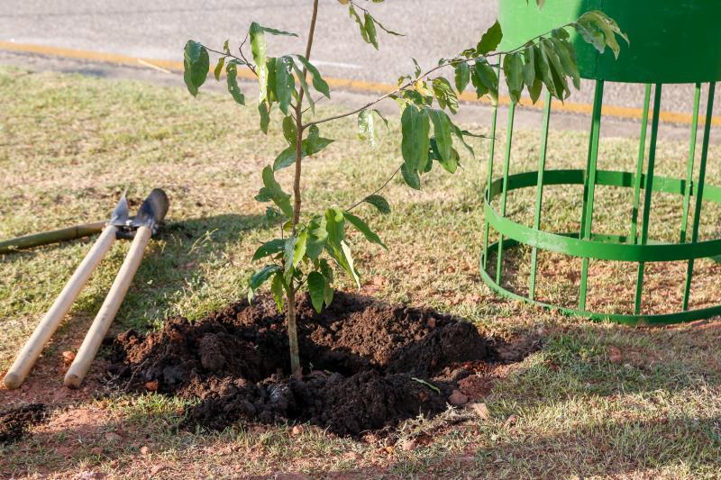 A espécie escolhida para fazer a arborização foi o oitizeiro, que forma uma bela copa e pode chegar aos 12 metros de altura
